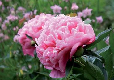 Picardie d co des vivaces pour un jardin color - Plantes vivaces photos ...